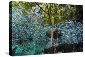 A School of Silversides Swim Through a Mangrove Forest by David Doubilet