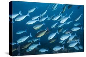 A school of surgeon fish swim in Tubbataha Reefs Natural Park. by David Doubilet