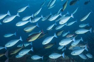 A school of surgeon fish swim in Tubbataha Reefs Natural Park. by David Doubilet