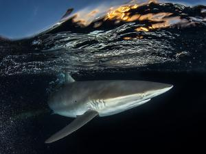 A Silky Shark Patrols the Rich Coral Reefs of Gardens of the Queen by David Doubilet
