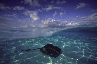 A Split Level View of a Southern Stingray Resting on the Sea Floor, with Puffy Clouds Overhead by David Doubilet
