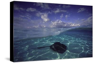 A Split Level View of a Southern Stingray Resting on the Sea Floor, with Puffy Clouds Overhead