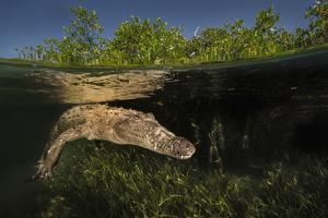 A Submerged American Crocodile, Crocodiles Acutus, Swims Above a Bed of Turtle Grass by David Doubilet