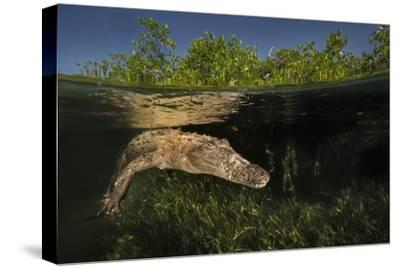 A Submerged American Crocodile Swims in the Dense Mangroves
