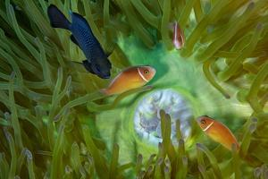 A Threespot Damselfish Swims Near a Trio of Pink Anemonefish in Papua New Guinea's Kimbe Bay by David Doubilet