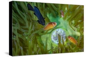 A Threespot Damselfish Swims Near a Trio of Pink Anemonefish in Papua New Guinea's Kimbe Bay by David Doubilet