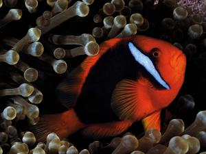 A Tomato Clownfish Floats Among Anemone Tentacles Colored By Algae by David Doubilet