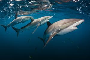 A Trio of Silky Sharks Patrol the Rich Coral Reefs of Gardens of the Queen by David Doubilet