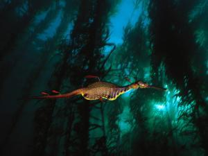 A Weedy Sea Dragon Paddles Through Emerald Jungles of Giant Kelp by David Doubilet