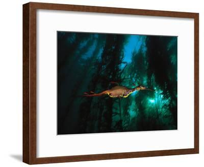 A Weedy Sea Dragon Paddles Through Emerald Jungles of Giant Kelp