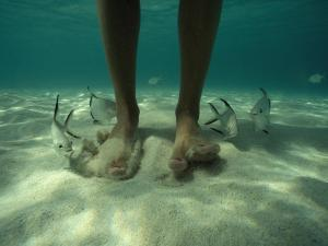 Adult Palometa Fish Dog the Steps of a Visitor to St John by David Doubilet