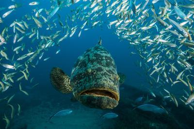 An Atlantic Goliath Grouper Swims Off the Zion Train Shipwreck Artificial Reef
