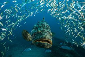 An Atlantic Goliath Grouper Swims Off the Zion Train Shipwreck Artificial Reef by David Doubilet