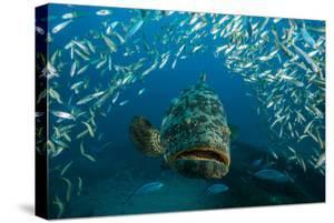 An Atlantic Goliath Grouper Swims Off the Zion Train Shipwreck Artificial Reef by David Doubilet