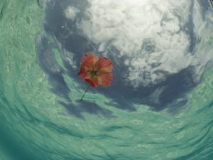 An Hibiscus Blossom Floats in the Waters Off St John Island by David Doubilet