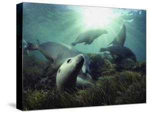 Australian sea lions swim in the waters of the Great Australian Bight by David Doubilet