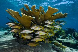 Bluestriped Grunts and Schoolmaster Snappers Swim Among Endangered Elkhorn Coral by David Doubilet