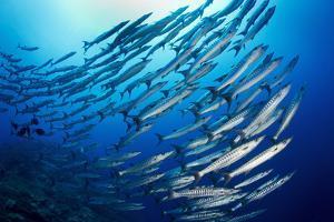 Chevron Barracuda Form Large Schools as a Defensive Behavior by David Doubilet