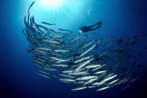 Chevron Barracuda Rise Past a Marine Biologist by David Doubilet
