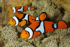 Clownfish Rest Inside their Host Anemone by David Doubilet