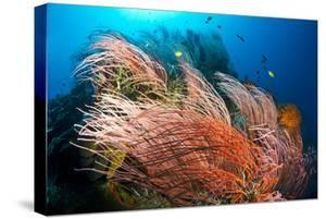 Fish Swim over the Branches of Red Whip Coral on Kimbe Bay's Susan's Reef by David Doubilet