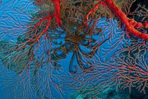Gorgonian Coral in Kimbe Bay by David Doubilet