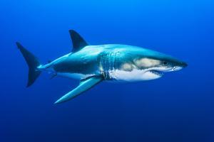 Great White Shark, Carcharodon Carcharias, Swimming by David Doubilet