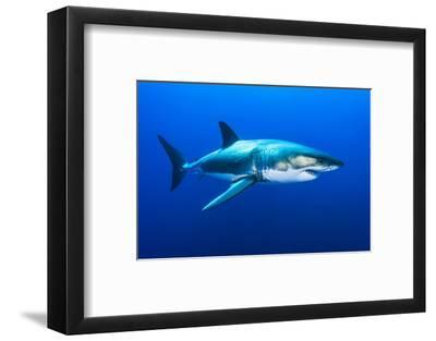 Great White Shark, Carcharodon Carcharias, Swimming