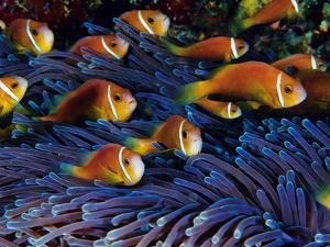 Juvenile Maldives Clownfish Swim Against the Current by David Doubilet