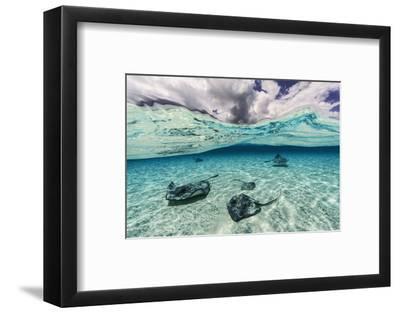 Southern Stingrays Swim across the Shallow White Sands Off Grand Cayman Island