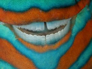 The Clownish Grin of a Bridled Parrotfish by David Doubilet