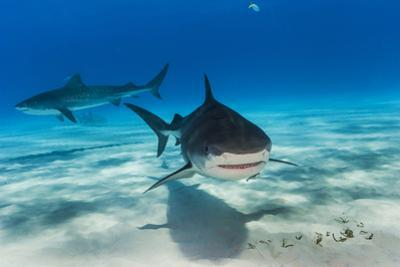 Tiger Sharks, Galeocerdo Cuvier, Swimming in a Shark Sanctuary by David Doubilet