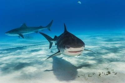 Tiger Sharks, Galeocerdo Cuvier, Swimming in a Shark Sanctuary