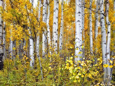 Yellow Woods IV
