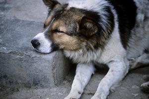 A Feral Street Dog Is Resting Asleep on a Street Curb by David Edwards