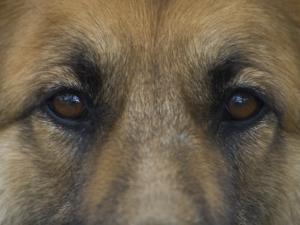 German Shepherd Dog's Eyes by David Edwards