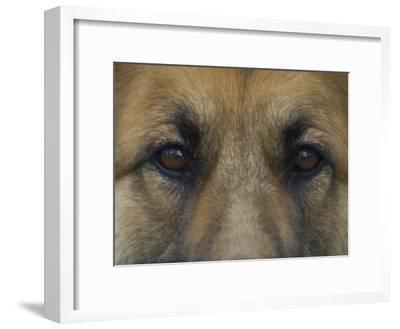 German Shepherd Dog's Eyes