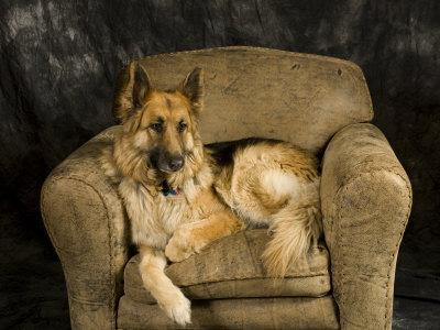 German Shepherd on Leather Chair in Studio