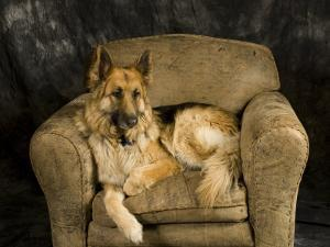 German Shepherd on Leather Chair in Studio by David Edwards