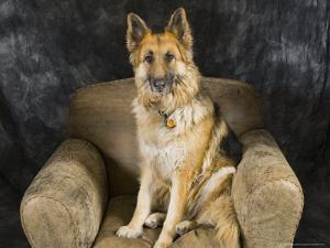 German Shepherd on Leather Chair in the Studio by David Edwards