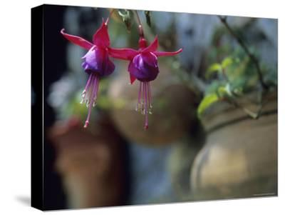 A Fuchsia Blossom Hangs from a Clay Planter