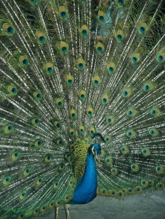 A Male Peacock Spreads His Beautiful Tail Plumage