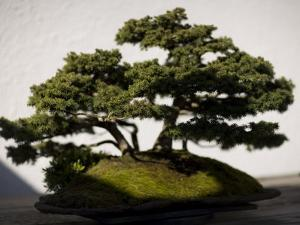 Bonsai Tree at the National Arboretum by David Evans
