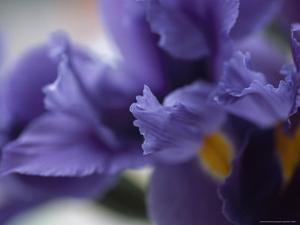 Close Up of Iris Flowers by David Evans