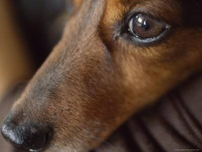 Close Up of the Face of a Dachshund by David Evans