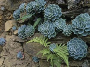 Sempervivums and Ferns Grow from a Wall of Rock by David Evans