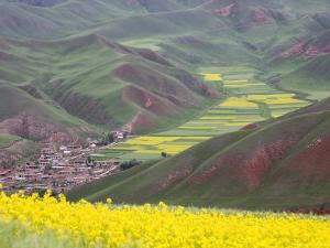 Village Nestled in a Valley and Fields Wheat and Flowering Rape, Qinghai, China by David Evans