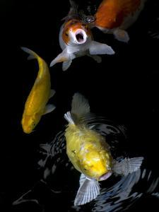 Yellow and Orange Koi Swimming to the Surface by David Evans