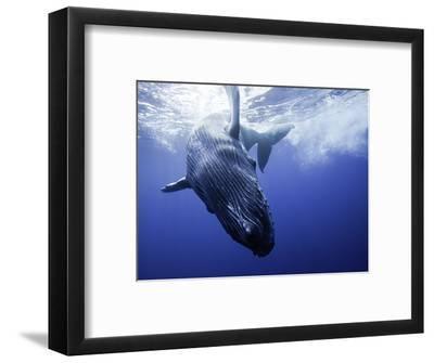 A Humpback Whale Calf (Megaptera Novaeangliae) Swimming Near its Mother, Hawaii, USA