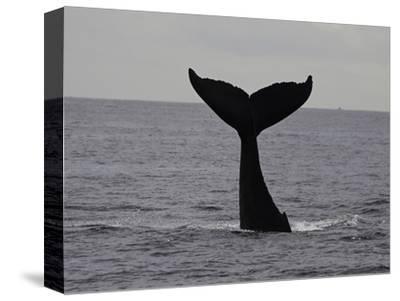 A Humpback Whale (Megaptera Novaeangliae)